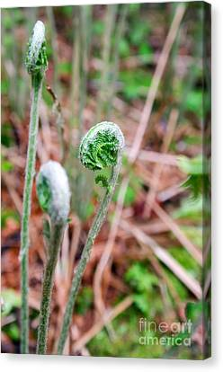 Fiddleheads Canvas Print