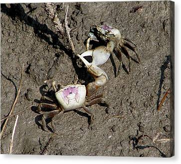 Fiddler Crabs Fighting 2 Canvas Print