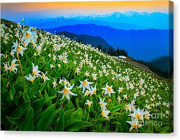 Field Of Avalanche Lilies Canvas Print by Inge Johnsson