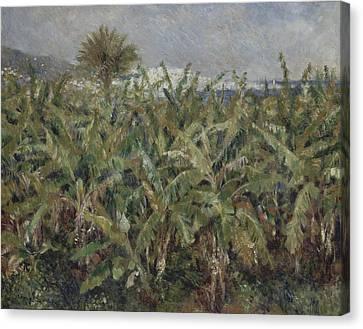 Field Of Banana Trees  Canvas Print by Auguste Renoir