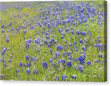 Field Of Blue Bonnet Flowers Canvas Print