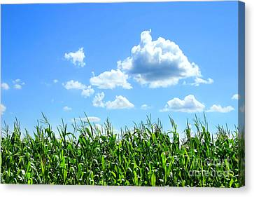Field Of Corn In August Canvas Print by Sandra Cunningham