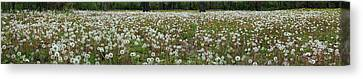Field Of Dandelions Canvas Print
