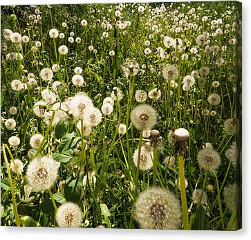 Field Of Dandelions  Canvas Print by Zina Stromberg