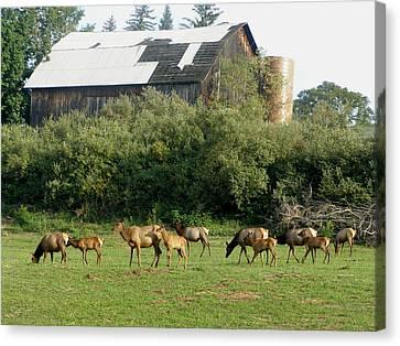 Field Of Elk Canvas Print by Jeanette Oberholtzer