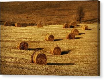 Field Of Gold #1 Canvas Print by Nikolyn McDonald