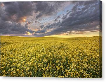 Canvas Print featuring the photograph Field Of Gold by Dan Jurak