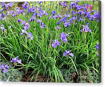 Spring Bulbs Canvas Print - Field Of Irises by Randall Weidner