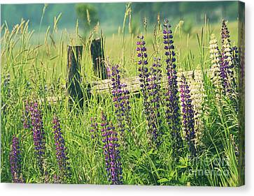 Field Of Lupin Flowers  Canvas Print by Sandra Cunningham