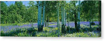 Purple Shadow Canvas Print - Field Of Lupine And Aspen Trees by Panoramic Images