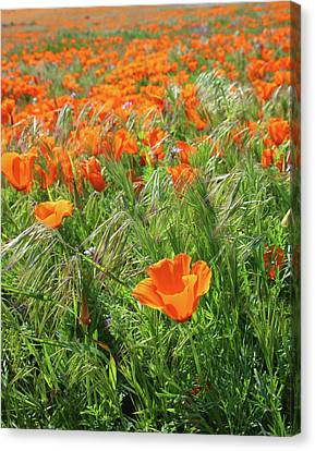 Farm Fields Canvas Print - Field Of Orange Poppies- Art By Linda Woods by Linda Woods