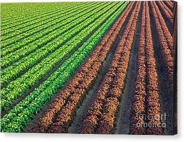 Field Of Organic Lettuce Canvas Print by Inga Spence