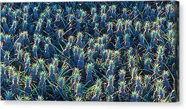Field Of Pineapples Canvas Print