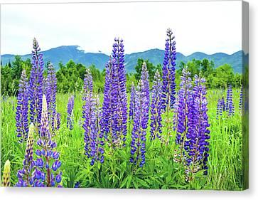 Field Of Purple Canvas Print by Greg Fortier