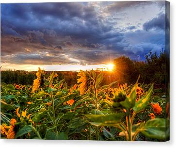 Field Of Sunflowers At Sunset Canvas Print by Joann Vitali