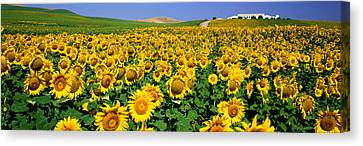 Field Of Sunflowers Near Cordoba Canvas Print by Panoramic Images