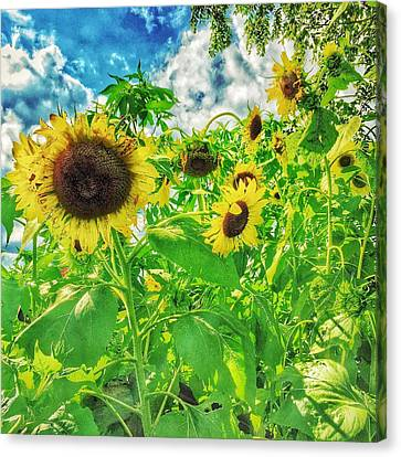 Field Of The Suns  Canvas Print by Jame Hayes