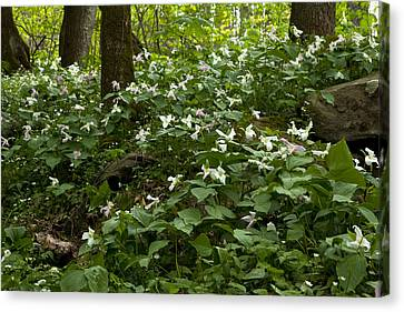 Canvas Print featuring the photograph Field Of Trillium 2833 by Peter Skiba