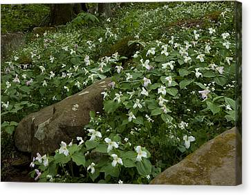 Canvas Print featuring the photograph Field Of Trillium 2841 by Peter Skiba