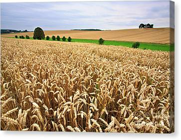 Field Of Wheat Canvas Print by Nailia Schwarz
