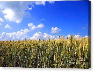 Field Of Wheat  Canvas Print by Sandra Cunningham