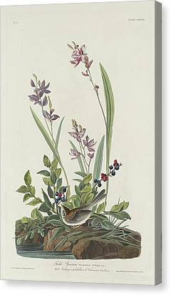 Field Sparrow Canvas Print by Rob Dreyer