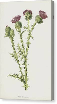 Thistle Canvas Print - Field Thistle by Frederick Edward Hulme