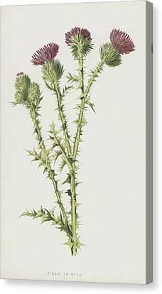 Field Thistle Canvas Print