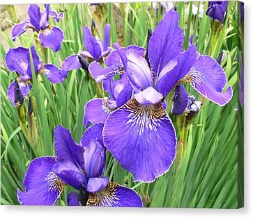 Fields Of Purple Japanese Irises Canvas Print by Jennie Marie Schell