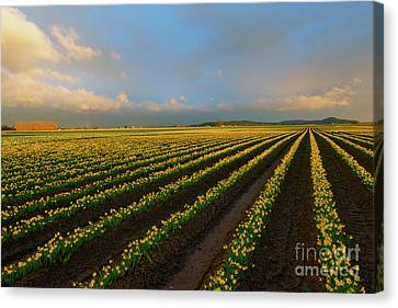 Canvas Print featuring the photograph Fields Of Yellow by Mike Dawson