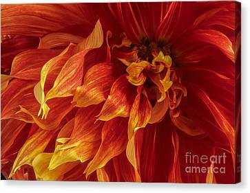 Fiery Dahlia Canvas Print