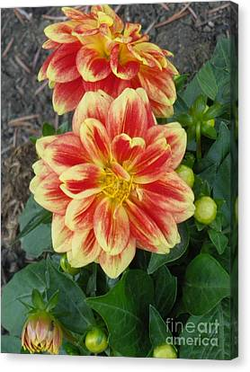 Fiery Dahlia Canvas Print by Sonya Chalmers