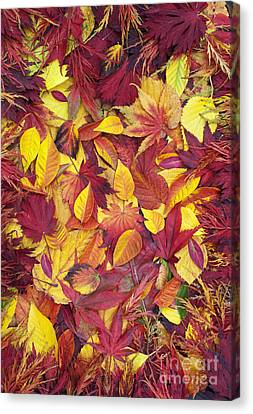Fiery Red Canvas Print - Fiery Autumnal Foliage by Tim Gainey