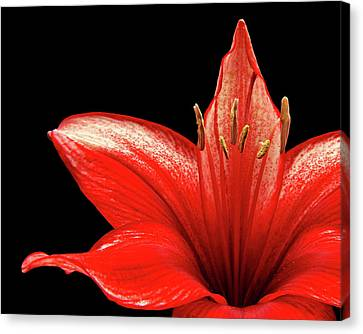 Canvas Print featuring the photograph Fiery Red by Judy Vincent