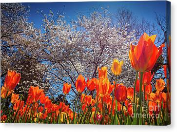 Fiery Tulips Canvas Print by Inge Johnsson