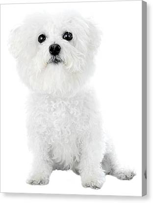 Fifi The Bichon Frise In White On White Canvas Print by Michael Ledray