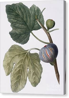 Fig Canvas Print by Pierre Joseph Redoute