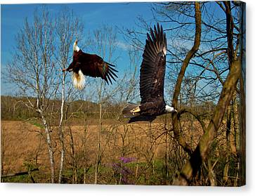 Fighting Eagles Canvas Print by Randall Branham