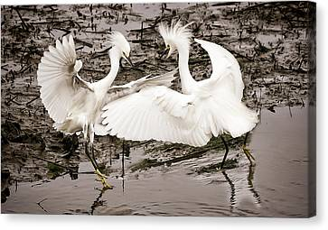 South Carolina State Bird Canvas Print - Fighting Egrets by Joe Granita