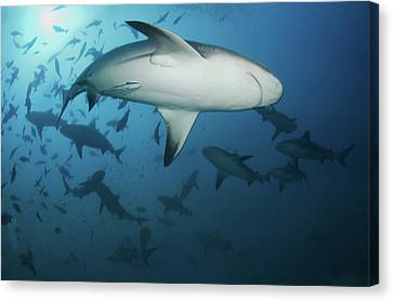Fiji Sharks Canvas Print by Nature, underwater and art photos. www.Narchuk.com