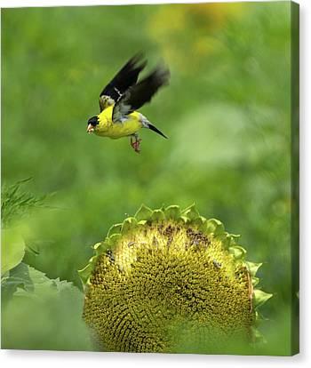 Finch Flight Canvas Print