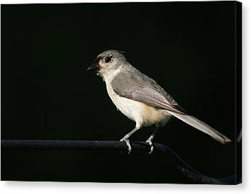 Canvas Print featuring the photograph Finch by Heidi Poulin