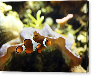 Finding Nemo Canvas Print by Marilyn Hunt