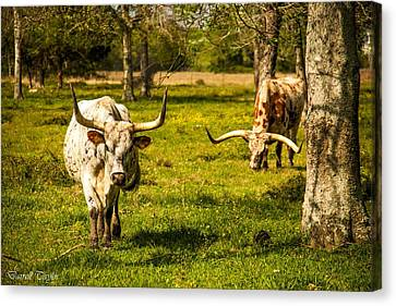 Fine Art America Pic 129 Texas Longhorns Canvas Print by Darrell Taylor