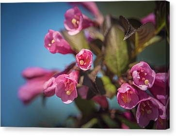 Canvas Print featuring the photograph Fine Wine Weigela by William Lee