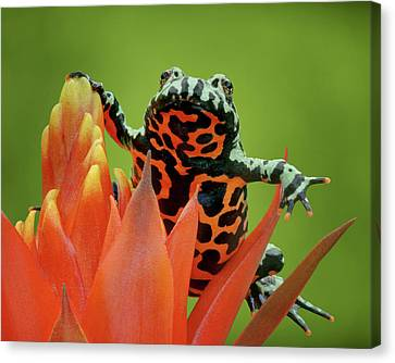Fire-bellied Toad Canvas Print