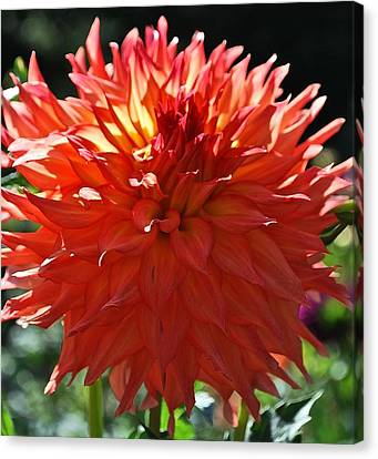 Fire It Up Dahlia  Canvas Print