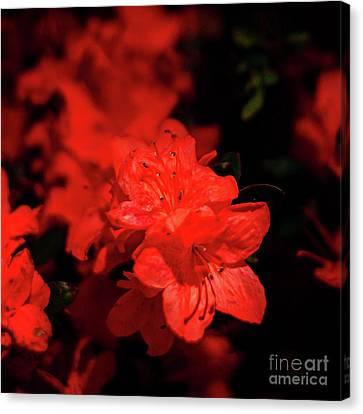 Canvas Print - Fire Red Azaleas by Tamyra Ayles