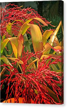 Firecracker Bromeliad Canvas Print by Stephen Mack