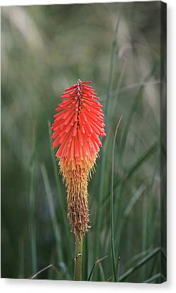 Canvas Print featuring the photograph Firecracker by David Chandler